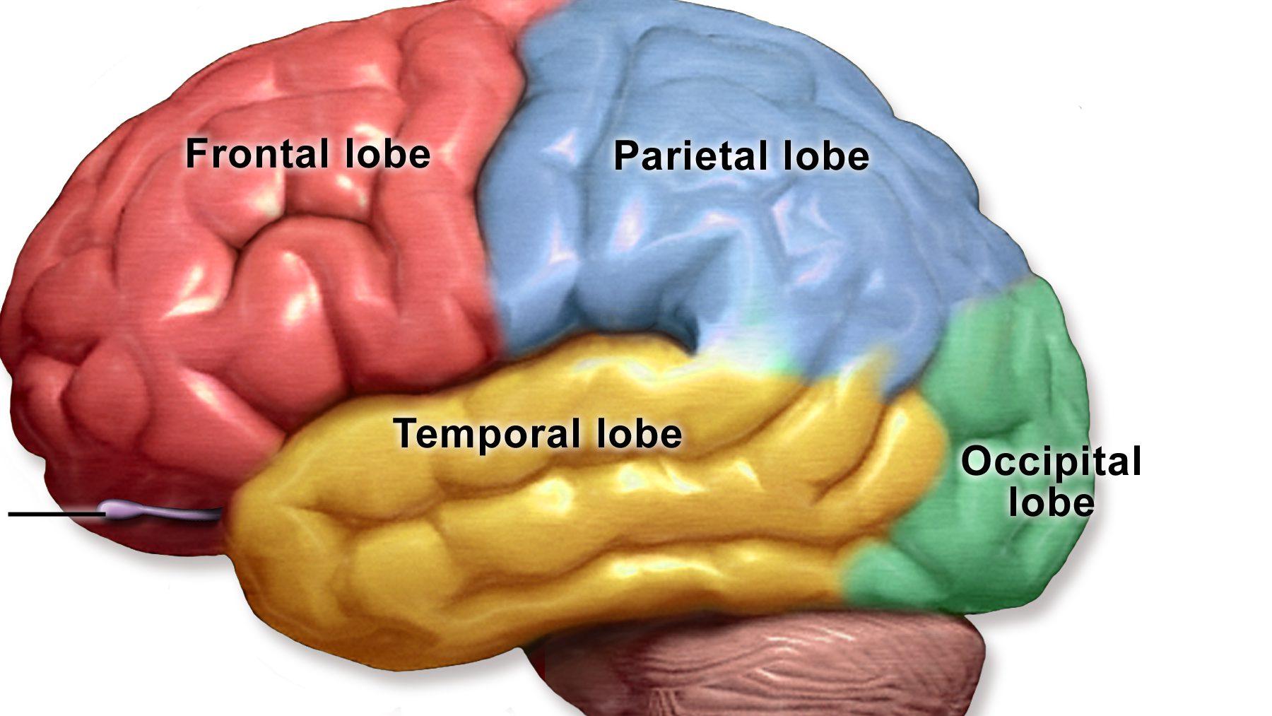 lobi cervello