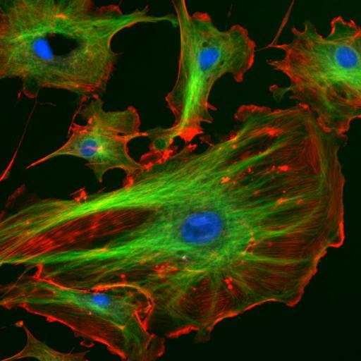 cellule fluorescenti