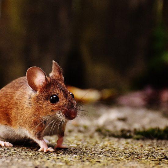topo di campagna