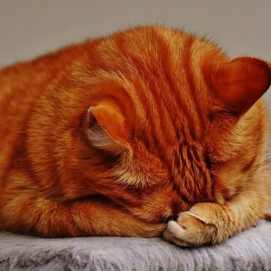 gatto rosso zampa in faccia