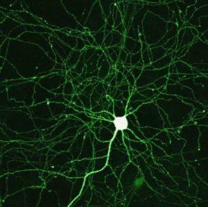 neurone e sinapsi