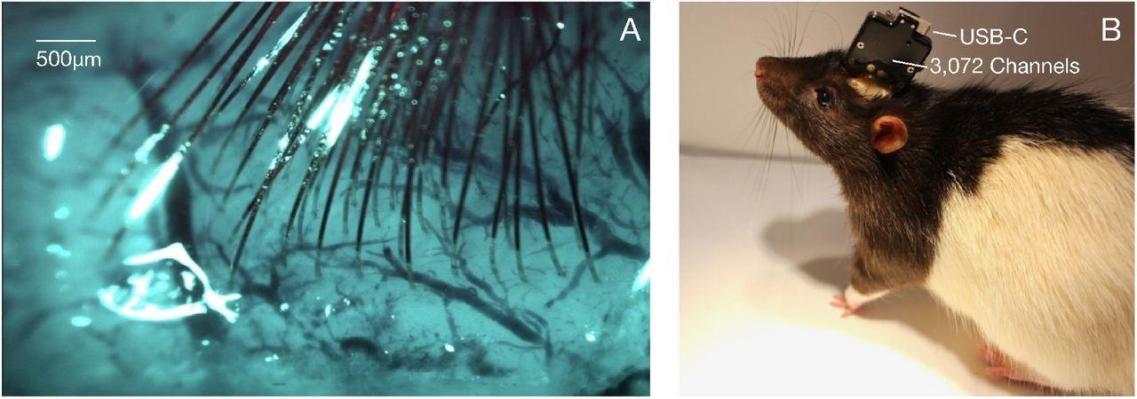 (A) Elettrodi impiantati nel cervello di un topo. (B) Visione esterna del chip ASIC con uscita USB-C.